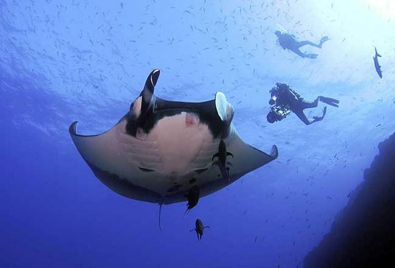 Манта или гигантский морской дьявол