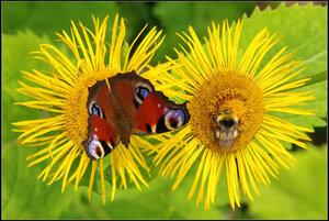 Бабочка  «Павлиний глаз»