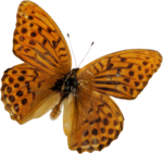 kimla_DN_butterfly.png
