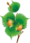 Hazelnuts4 [преобразованный].png