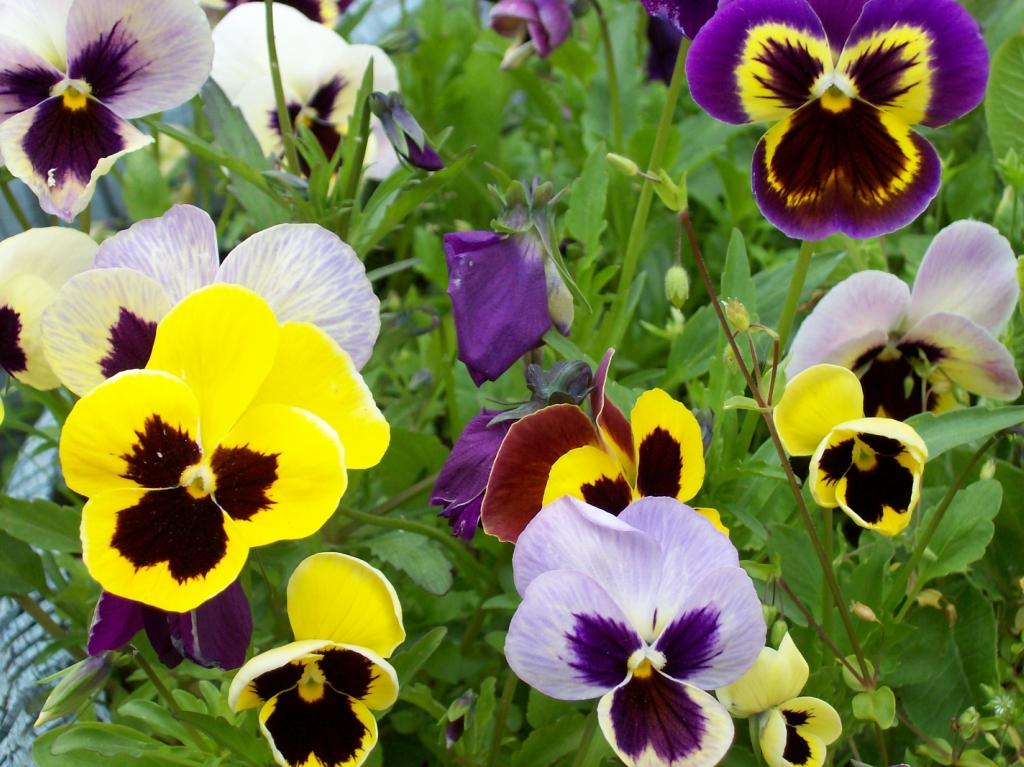 12 Многолетников для цветников, не требующие ухода - Анютины глазки