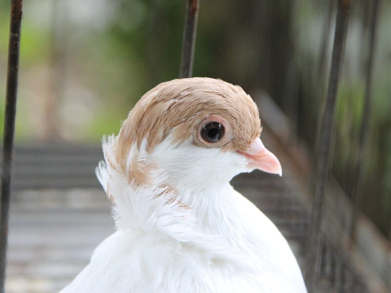 Невьянск. День города-2012. Выставка голубей