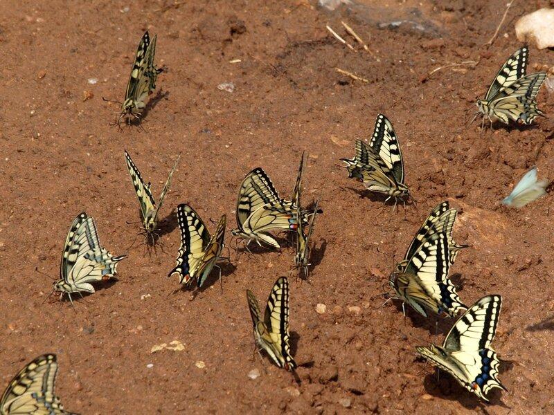 большая толпа бабочек-махаонов (Papilio machaon) на песке