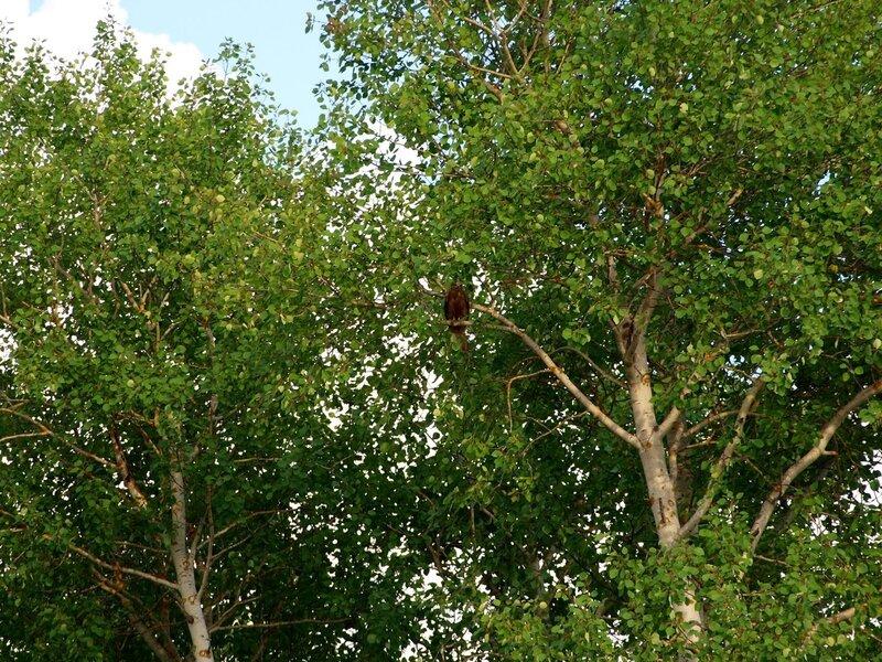 Хищная птица, вероятно коршун на дереве в протоке у Куприхи
