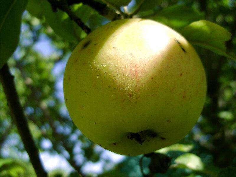Яблочко-1.JPG