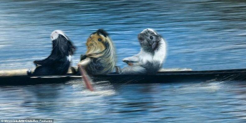морские свинки фото