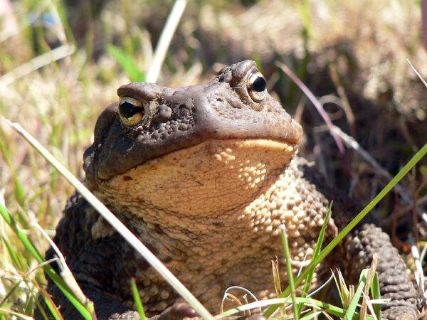 жаба Клава анфас