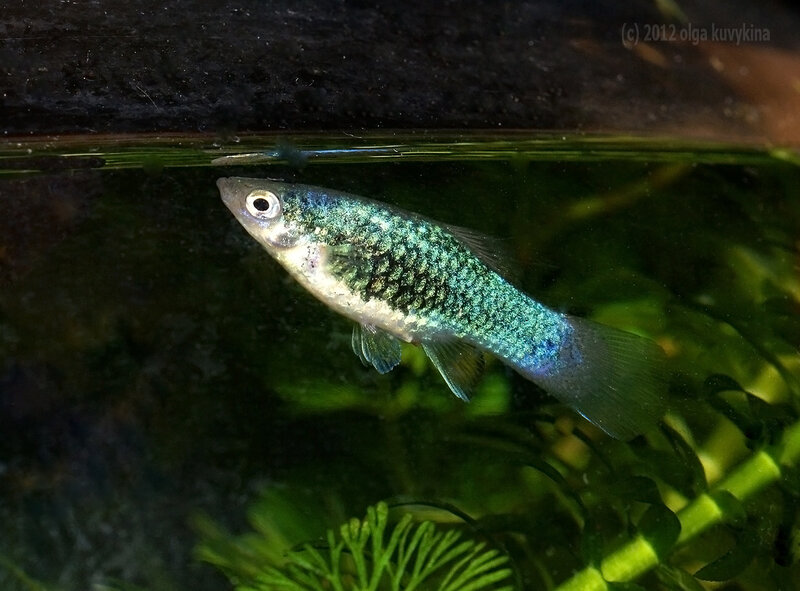 Пецилия синяя тукседо, самка (Xiphophorus maculatus)