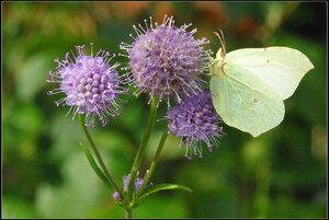 Бабочка  «Капустница»