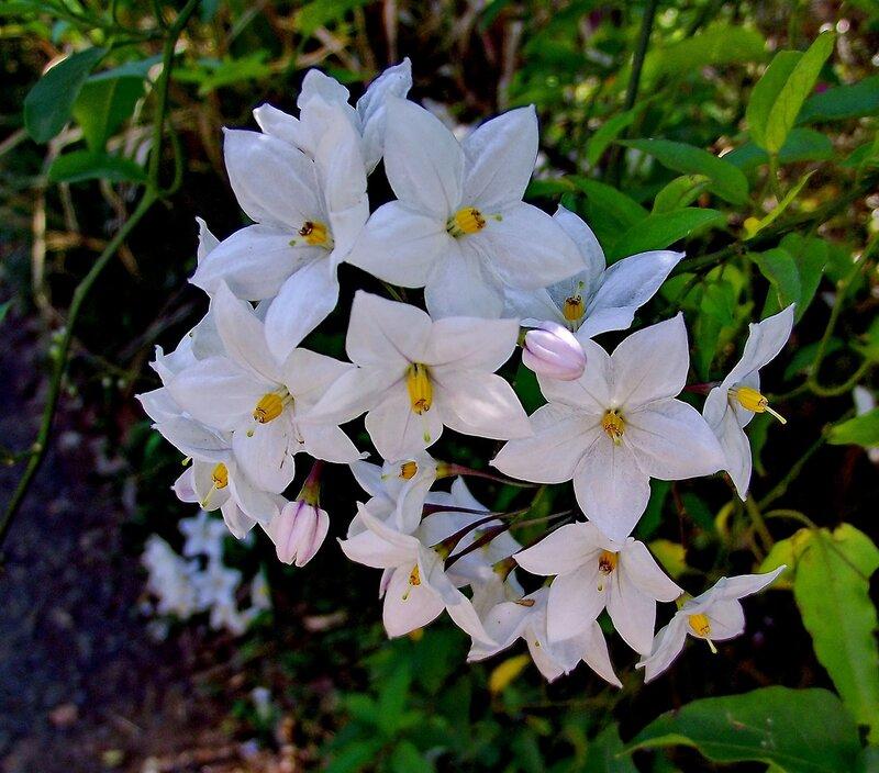 Цветы картофельного дерева...
