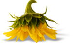 AD_Sunflower_summer_el (36).png
