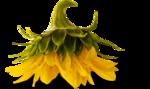AD_Sunflower_summer_el (36).png