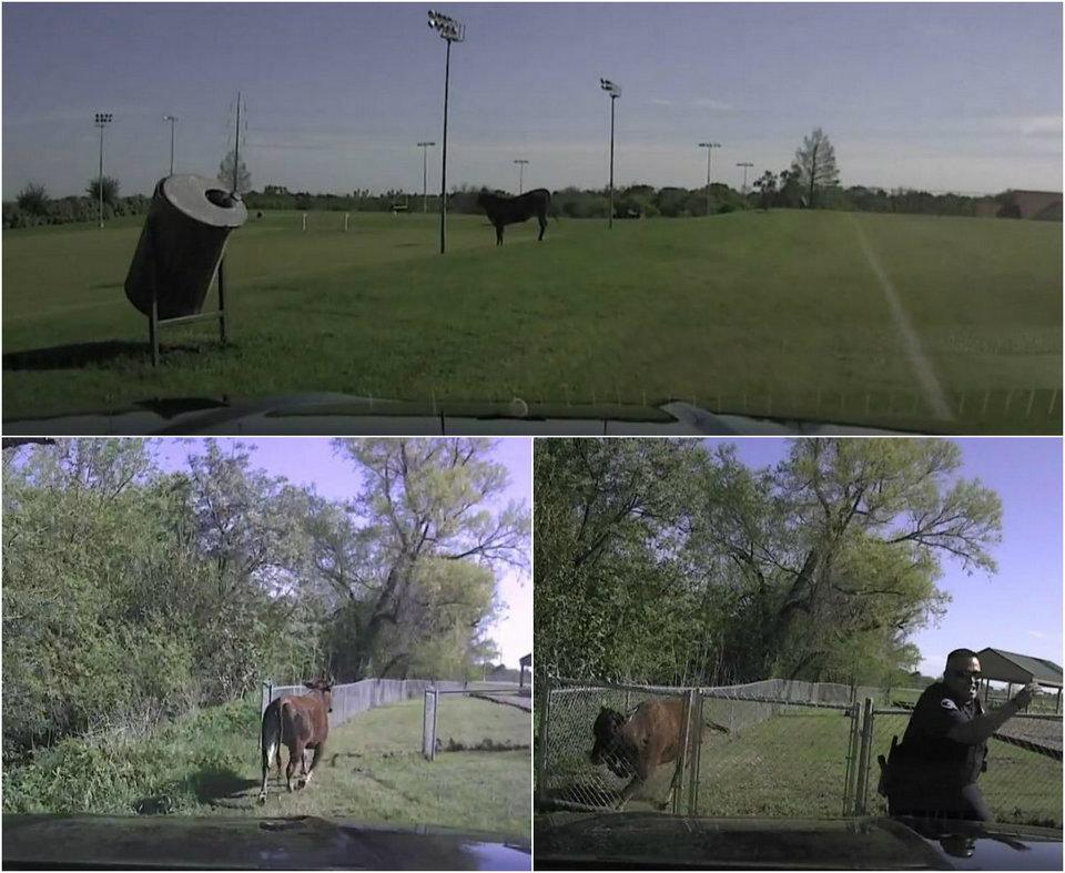 Драматический момент: полицейский убегает от агрессивной коровы