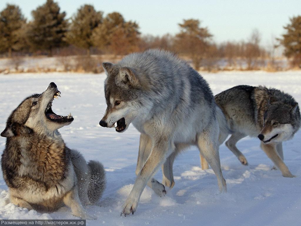 Звук воя волка скачать бесплатно
