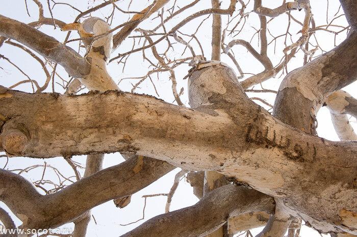 Сокотра, мирровые, бутылочные деревья, музей