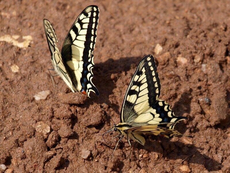 пара бабочек-махаонов Papilio machaon на песке