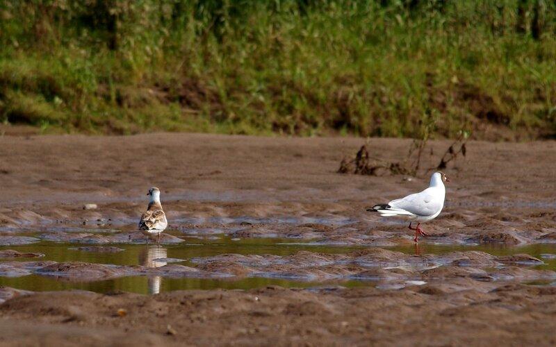 Озерная (речная) чайка (Larus ridibundus) с птенцом на берегу Моломы