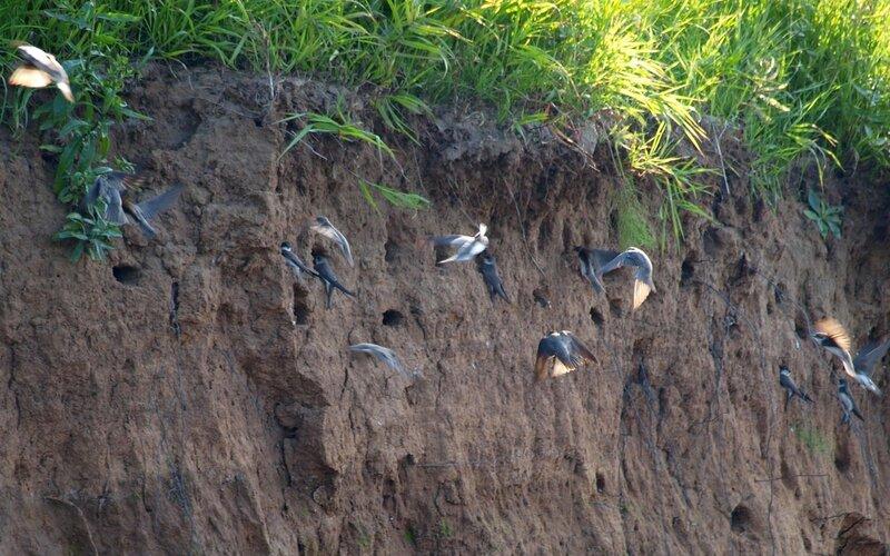 ласточки-береговушки Riparia riparia и их норы в обрывистом берегу реки Моломы