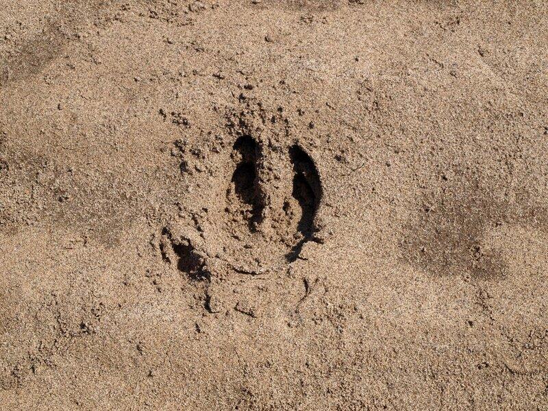 Следы кабана на песчаном берегу реки Вятки