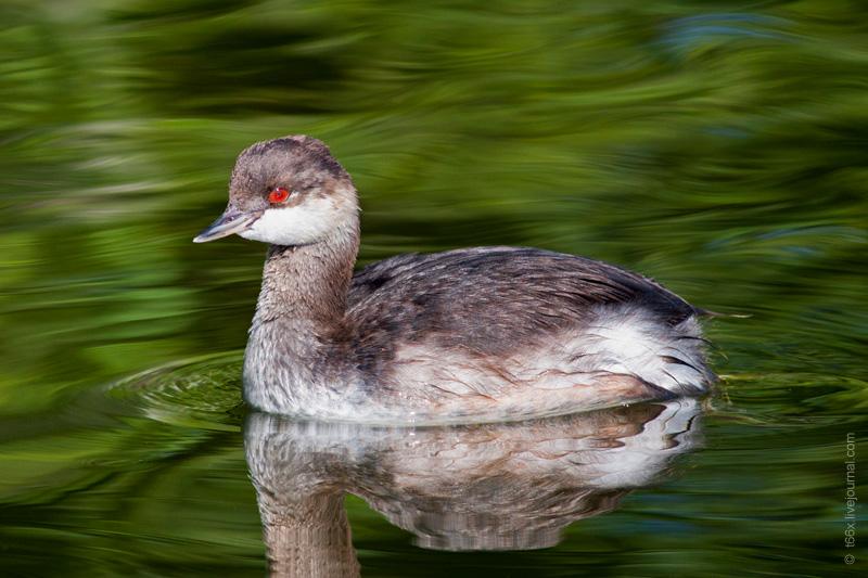 Птицы Челябинской области, красношейная поганка