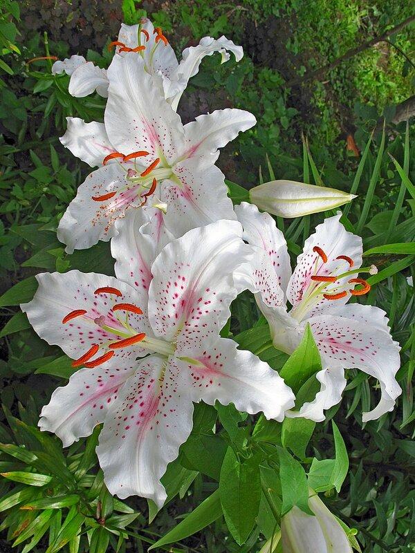 Лето в райском садике с.Остров, лилии