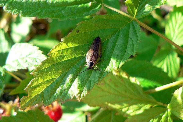 таракан в малине