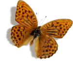 kimla_DN_butterfly_sh.png