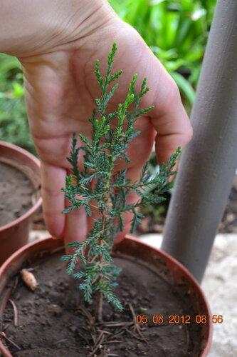Домашний кипарис из семян в домашних условиях 866