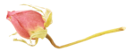 «victorian rose» 0_94a7b_11eb0c42_S