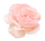 «victorian rose» 0_94a87_ee2b6d54_S