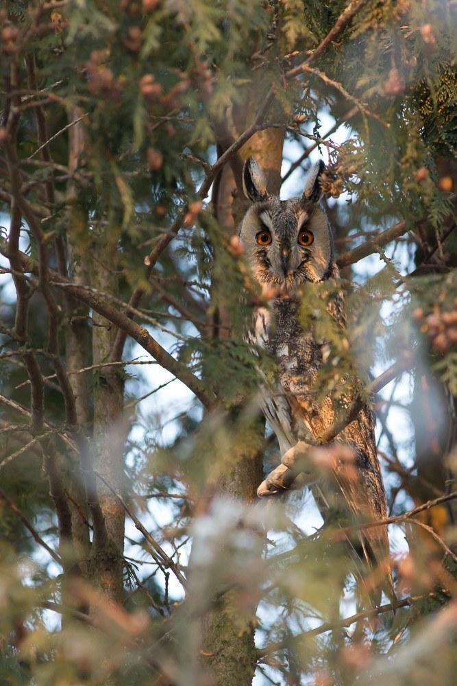 4. Вторая сова нашлась на соседней туе, сидела на самом краю, но это, видимо, я её вспугнул. Обходил