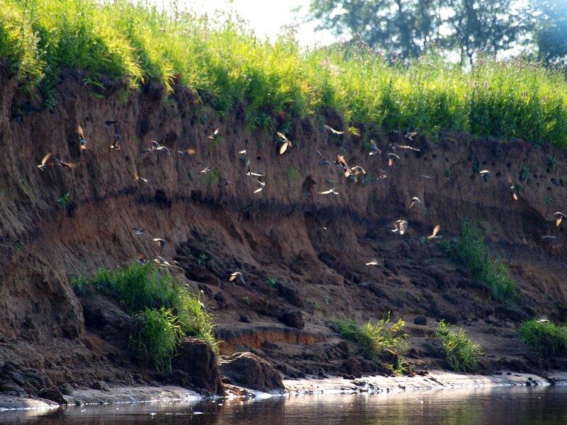 Рой ласточек-береговушек Riparia riparia у обрывистого берега реки Моломы