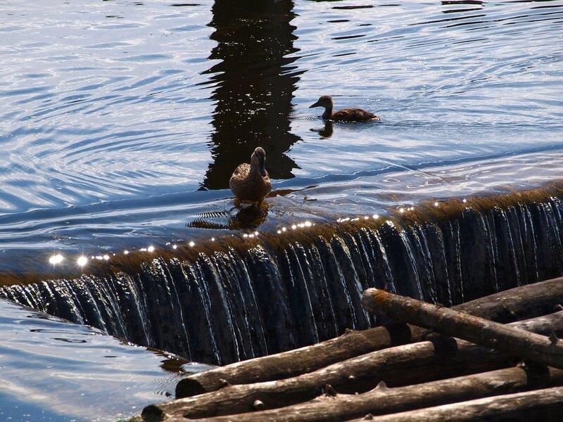 Утка у слива Чистых прудов зовет утят