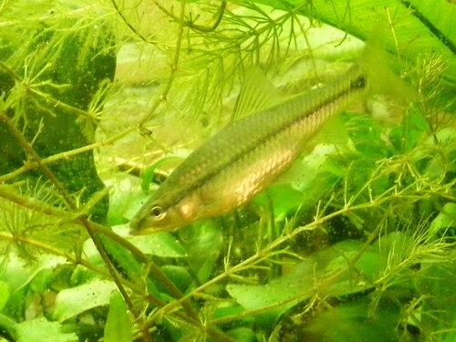 Амурский аквариум 0_f0c08_984d9b85_L