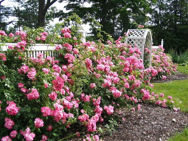 Посадка цветущих роз