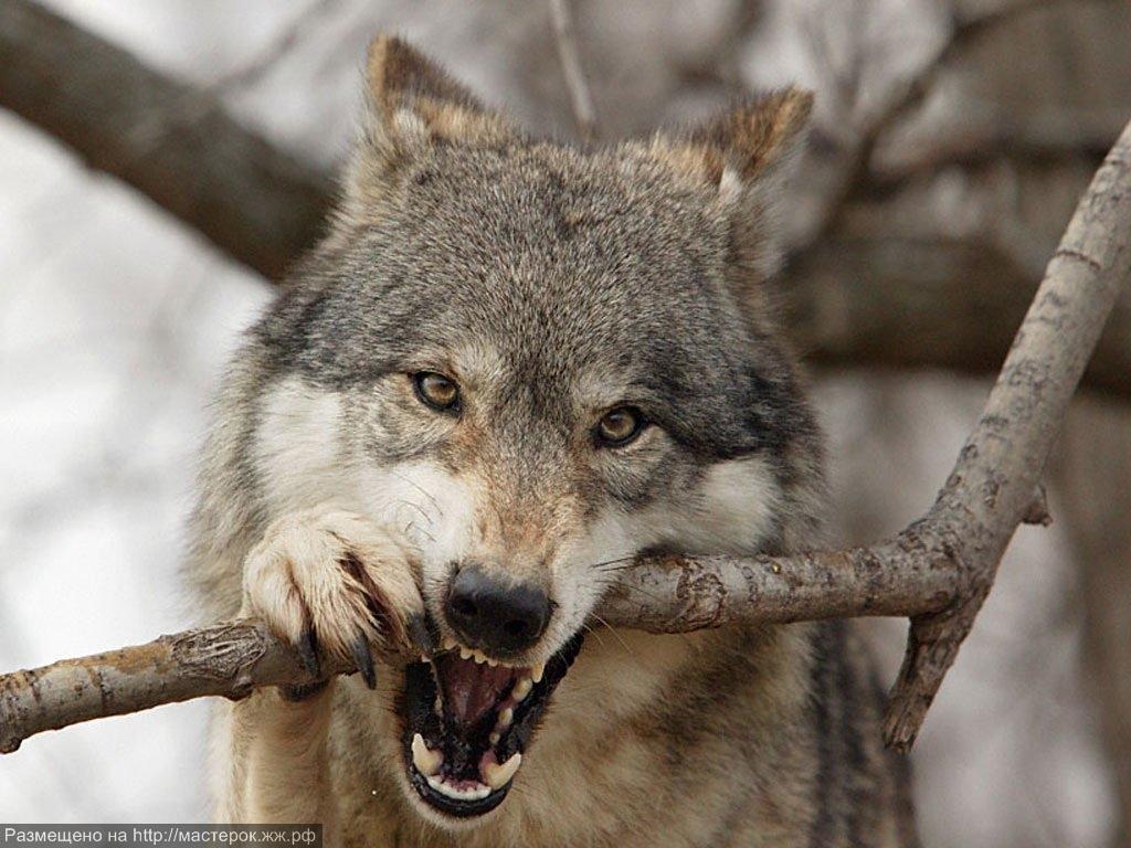 Скачать звуки волчьего воя