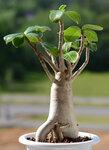 Adenium arabicum SILVER RSN