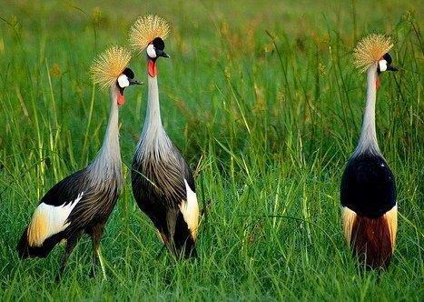 ...pavonina) - крупная птица из семейства журавлей, ведущая оседлый образ жизни в Западной и Восточной Африке.