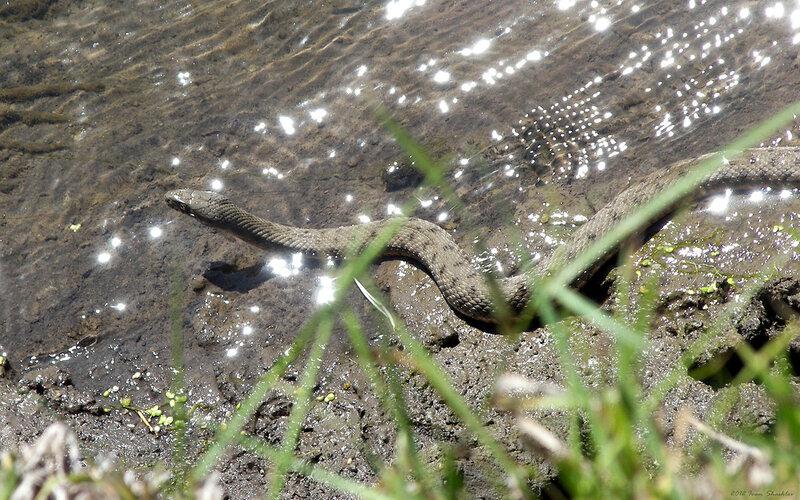 Водяной уж Dice snake Natrix tessellata