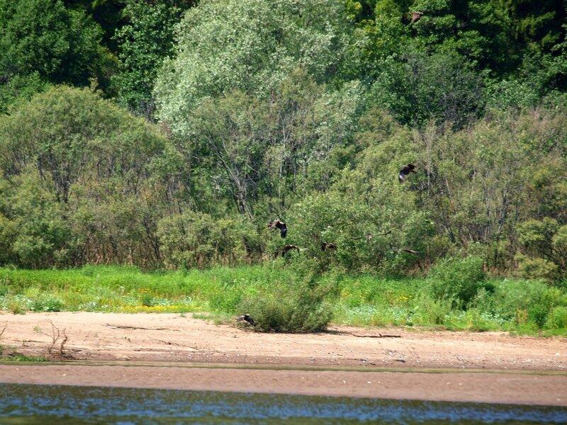 Восемь черных коршунов кружатся над пляжем