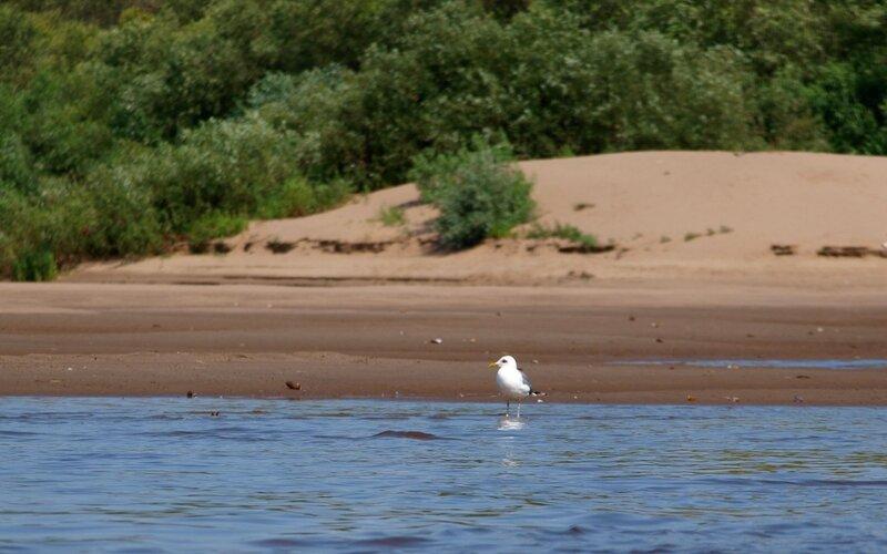 Сизая чайка (Larus canus) на берегу реки