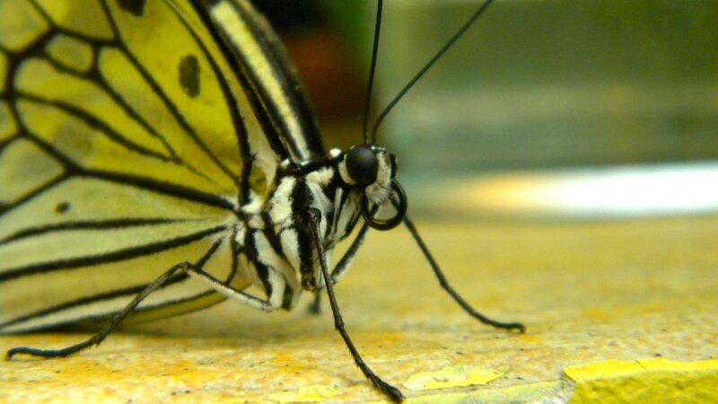 скрученный хобот бабочки
