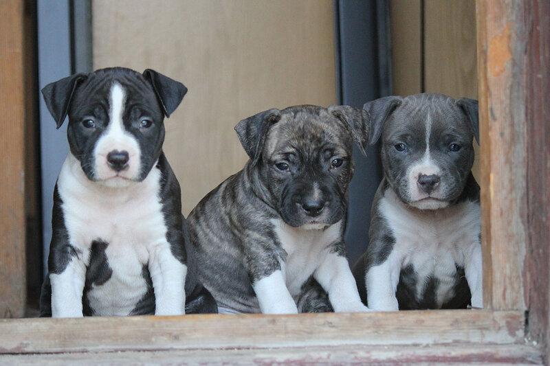Щенки стаффорда, чёрные, голубые, тигровые, рыжик 0_874da_6ae5e377_XL