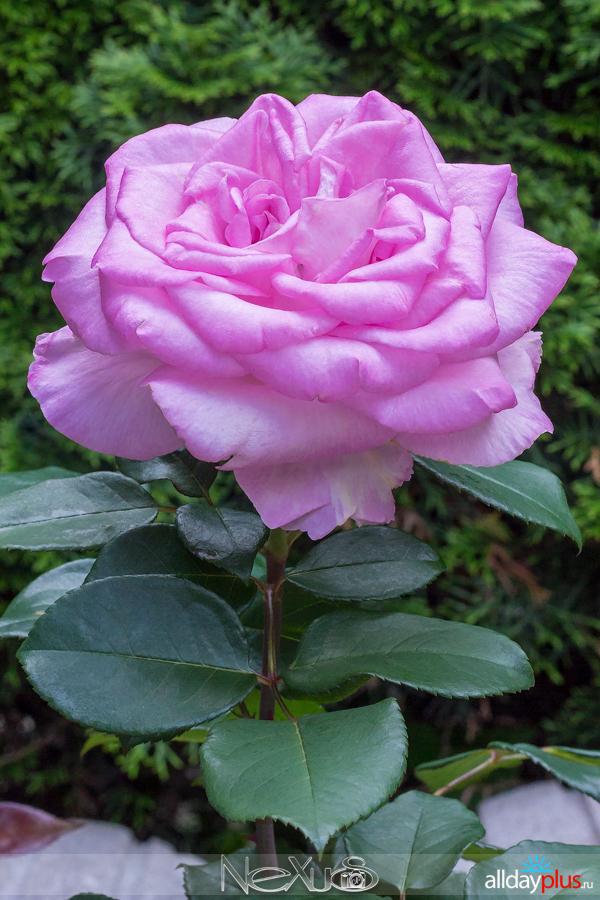 Я люблю все цветы, выпуск 199 | Роза - «Королева цветов».