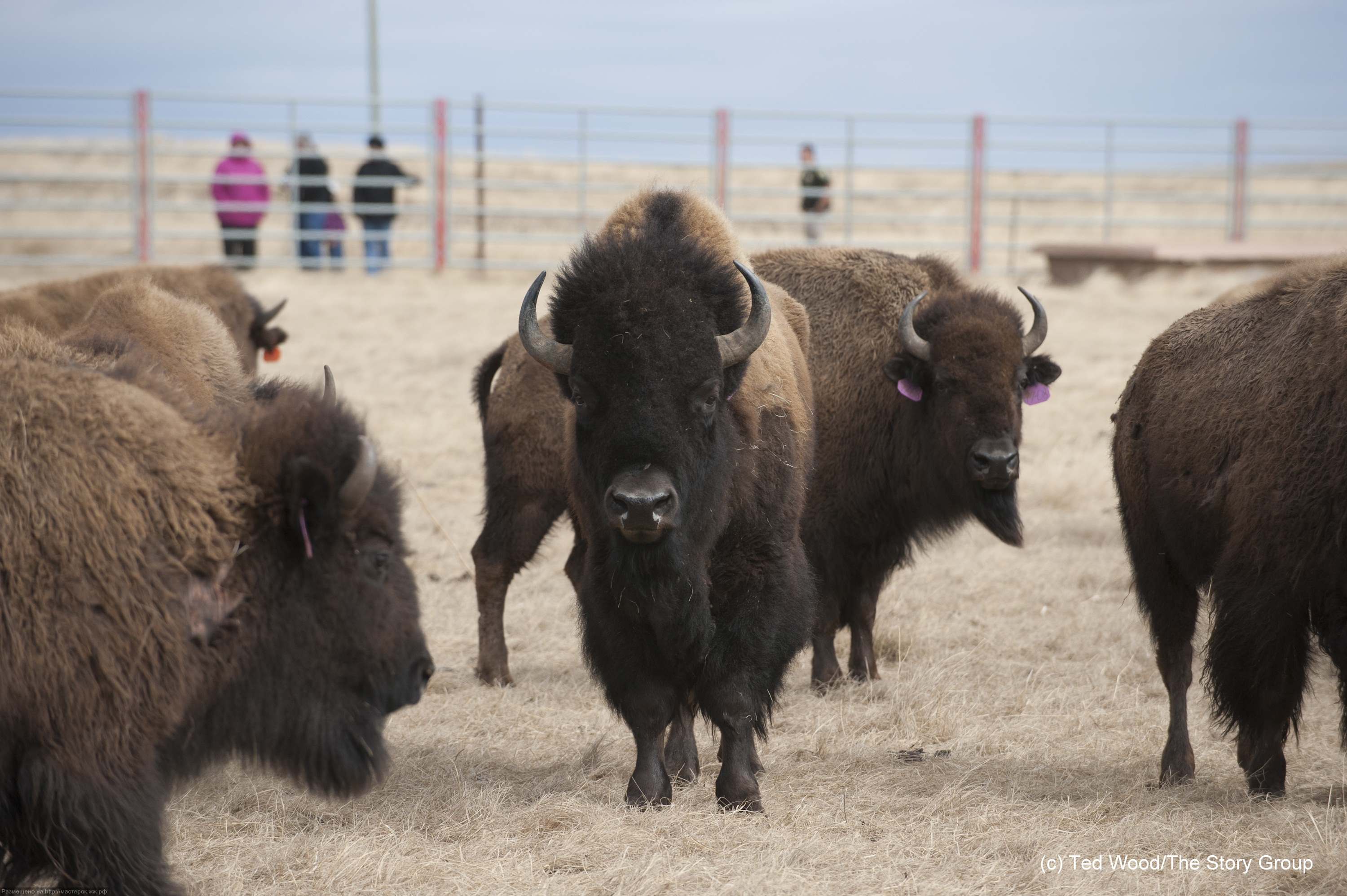 Bison return to Ft. Peck