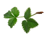 natali_strawberry_leaf3.png