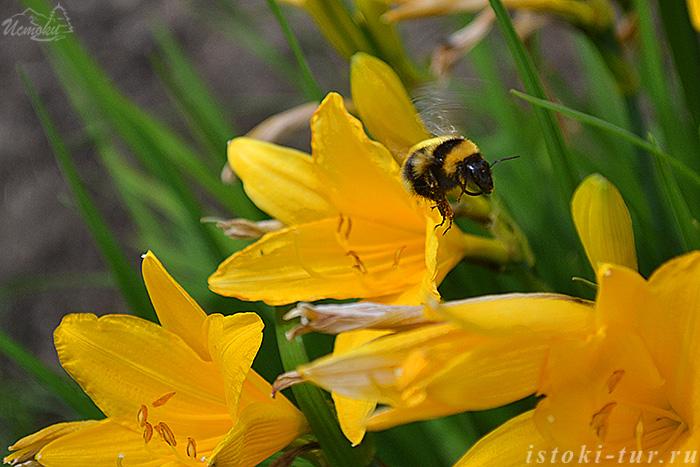 пчела_pchela