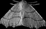 cvd inner storm moth 2.png
