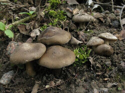 Грандиозный урожай в этом году. Иногда даже возникают мысли попробовать этот гриб на вкус, уж очень аппетитно выглядят некоторые семейки Автор фото: Станислав Кривошеев