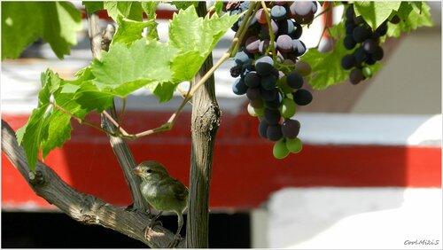 В тени винограда.